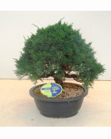Bonsai Juniperus chinensis 35 cm