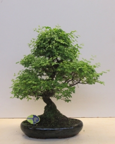 Bonsai Ligustrum 70 cm