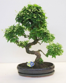 Bonsai Ligustrum Chinensis 70 cm
