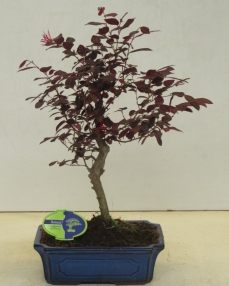 Bonsai Loropetalum Rubra 45 cm