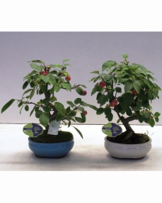 Bonsai Malus Haliana 40 cm