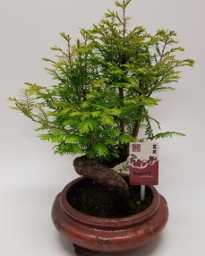 Bonsai Metasequoia 'Special' 45 cm