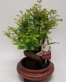 Bonsai Metasequoia 'Special' 45 cm
