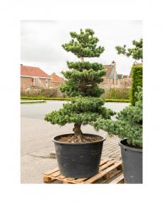 Bonsai Pinus Parviflora 200 cm