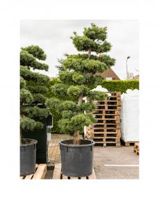 Bonsai Pinus Parviflora 230 cm