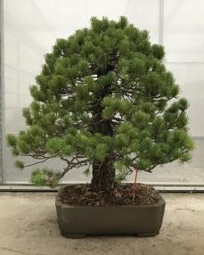 Bonsai Pinus Parviflora 'A2-F3' 90 cm