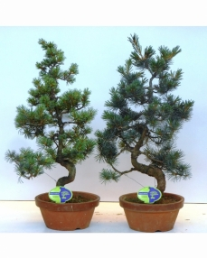 Bonsai Pinus Pentaphylla Parviflora 65 cm