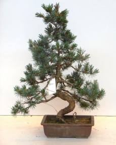 Bonsai Pinus Pentaphylla Parviflora 75 cm