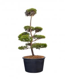Bonsai Pinus Sylvestris 260 cm