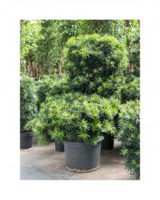 Bonsai Podocarpus 180 cm