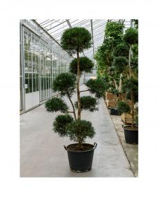 Bonsai Podocarpus 290 cm