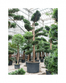 Bonsai Podocarpus 575 cm