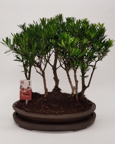 Bonsai Podocarpus 'Forest' 45 cm