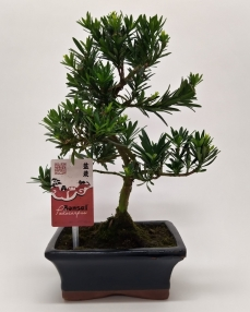 Bonsai Podocarpus Outdoor 30 cm