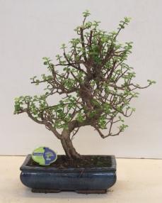 Bonsai Portulacaria 50 cm