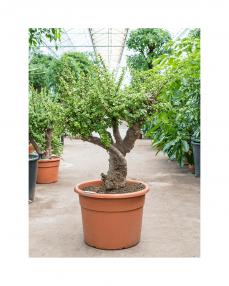 Bonsai Portulacaria Afra 130 cm