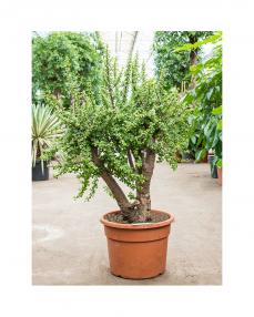 Bonsai Portulacaria Afra 135 cm