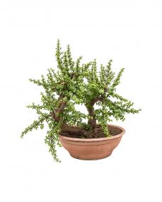 Bonsai Portulacaria Afra 80 cm