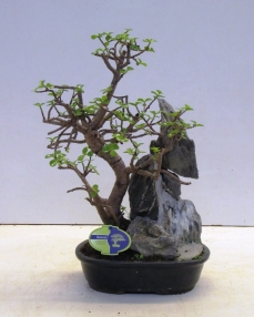 Bonsai Portulacaria (with rock) 45 cm