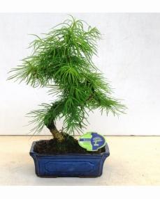 Bonsai Pseudolarix Amabilis 50 cm