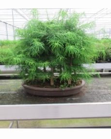 Bonsai Pseudolarix (forest) 80 cm