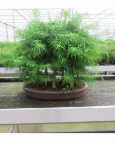 Bonsai Pseudolarix (forest) 80 cm