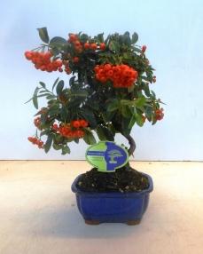 Bonsai Pyracantha 40 cm