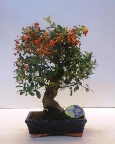 Bonsai Pyracantha 50 cm