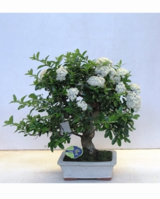 Bonsai Pyracantha Angustifolia 60 cm