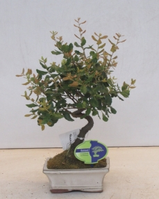 Bonsai Quercus Subur 35 cm