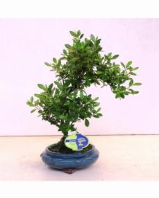 Bonsai Rhododendron 38 cm