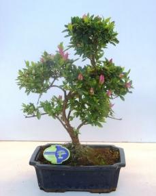 Bonsai Rhododendron 45 cm