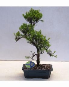 Bonsai Syzygium 40 cm