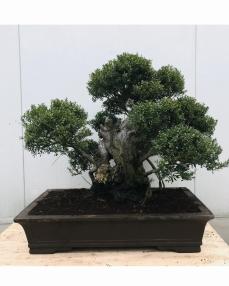 Bonsai Syzygium 'Yamadori' 95 cm