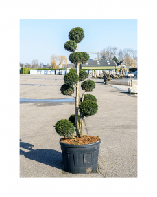Bonsai Taxus Baccata 250 cm