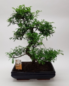 Bonsai Zanthoxylum 'Traditional' 55 cm