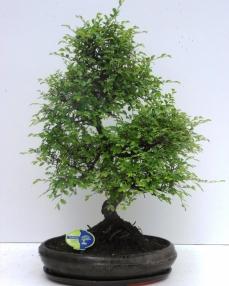 Bonsai Zelkova 60 cm