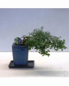 Bonsai Zelkova Cascade 35 cm