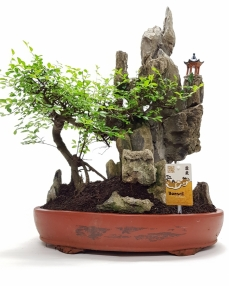 Bonsai Zelkova 'Oval' + Rock 60 cm