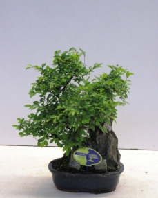 Bonsai Zelkova (with rock) 40 cm