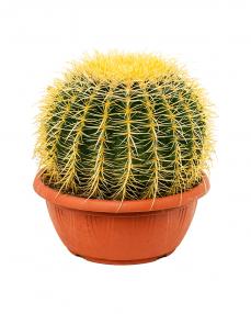 Cactus Grusonii 30 cm