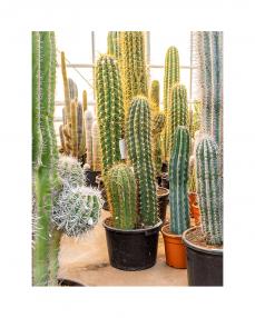 Cactus Trichocereus 140 cm