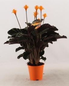 Calathea crocata 45 cm