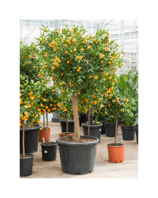 Citrus Calamondin 190 cm