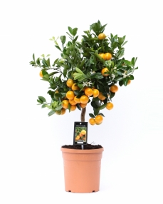 Citrus calamondin 65 cm