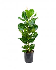 Clusia Rosea 90 cm