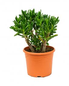 Crassula Gollum 50 cm