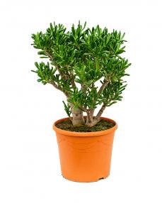 Crassula Gollum 70 cm