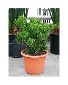 Crassula Horntree 50 cm