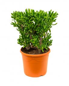 Crassula Horntree 70 cm